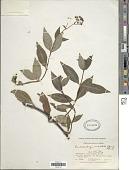 view Emmeorrhiza umbellata digital asset number 1
