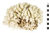 view Cauliflower Coral digital asset number 1