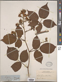 view Rubus fusus digital asset number 1