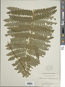view Osmunda claytoniana (L.) Tagawa digital asset number 1