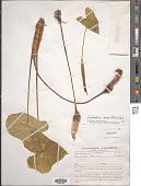 view Caladium bicolor (Aiton) Vent. digital asset number 1