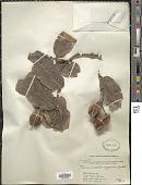 view Terminalia arjuna (Roxb. ex DC.) Wight & Arn. digital asset number 1