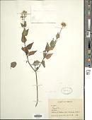 view Ageratina oligocephala (DC.) R.M. King & H. Rob. digital asset number 1