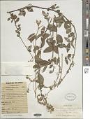 view Desmodium vargasianum digital asset number 1
