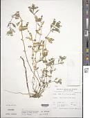 view Alternanthera sessilis (L.) Aiton ex DC. digital asset number 1