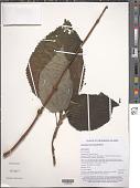 view Cypholophus macrocephalus Wedd. digital asset number 1