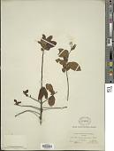 view Bourreria exsucca (L.) Jacq. digital asset number 1