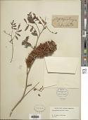 view Glycyrrhiza lepidota Pursh digital asset number 1