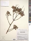 view Peperomia quadrifolia (L.) Kunth digital asset number 1
