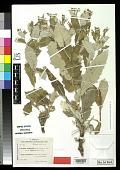 view Cousinia hypopolia var. albiflora Bornm. & Sint. in Bornm. digital asset number 1