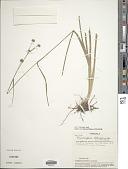 view Rhynchospora holoschoenoides (Rich.) Herter digital asset number 1