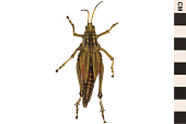 view Eastern Lubber Grasshopper digital asset number 1
