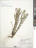view Polygala densifolia A. St.-Hil. & Moq. digital asset number 1