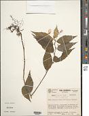 view Begonia logirostris digital asset number 1