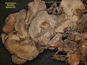 view Dermatocarpon luridum (Dill. & With.) J.R. Laundon digital asset number 1
