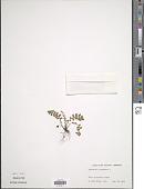 view Asplenium platyneuron (L.) Britton, Stearns & Poggenb. digital asset number 1