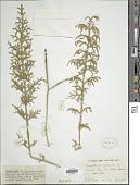 view Lycopodiella cernua (L.) Pic. Serm. digital asset number 1