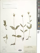 view Arnica latifolia Bong. digital asset number 1