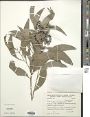 view Acacia auriculiformis A. Cunn. ex Benth. digital asset number 1