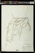 view Euphorbia graminea var. novogaliciana McVaugh digital asset number 1