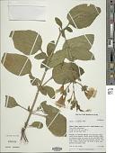 view Ruellia ciliatiflora Hook. digital asset number 1