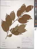 view Heisteria scandens Ducke digital asset number 1