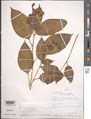 view Tinantia leiocalyx C.B. Clarke in Donn. Sm. digital asset number 1