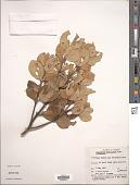 view Cinnamomum ovalifolium Wight digital asset number 1