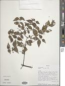 view Calea ternifolia Oliv., hom. illeg. digital asset number 1