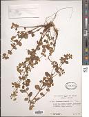 view Calceolaria virgata digital asset number 1
