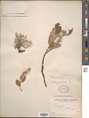 view Salix arctica Pall. digital asset number 1