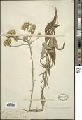 view Helichrysum krebsianum Less. digital asset number 1
