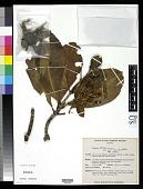 view Fagraea berteroana A. Gray ex Benth. digital asset number 1