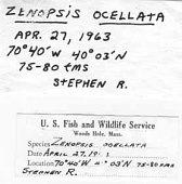 view Zenopsis ocellatus digital asset number 1