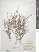 view Polygonum aviculare subsp. rurivagum (Jord. ex Boreau) O. Bolòs & Vigo digital asset number 1