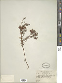 view Andromeda polifolia var. latifolia digital asset number 1