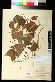 view Passiflora capsularis L. digital asset number 1