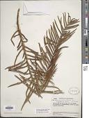 view Blechnum columbiense Hieron. digital asset number 1