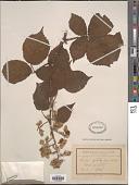 view Rubus oplothyrsus Sudre digital asset number 1