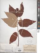 view Commersonia bartramia (L.) Merr. digital asset number 1