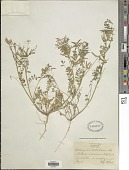 view Astragalus austrinus (Small) O.E. Schulz digital asset number 1