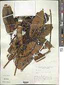 view Schefflera morototoni (Aubl.) Maguire, Steyerm. & Frodin digital asset number 1