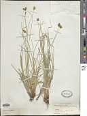 view Carex vulpinaris Nees digital asset number 1