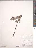 view Krameria pauciflora DC. digital asset number 1