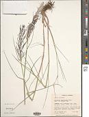 view Dinebra coerulescens (Steud.) P.M. Peterson & N. Snow digital asset number 1