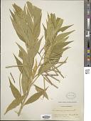 view Amsonia illustris Woodson digital asset number 1