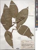 view Deeringia polysperma (Roxb.) Miq. digital asset number 1