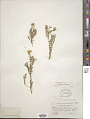 view Polemonium delicatum Rydb. digital asset number 1