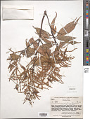 view Castanopsis acuminatissima (Blume) A. DC. digital asset number 1