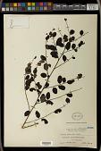 view Breynia vitis-idaea (Burm. f.) C.E.C. Fisch. digital asset number 1